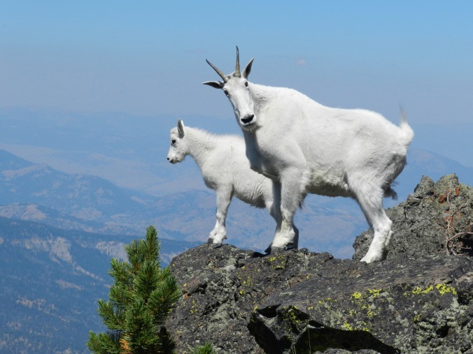 Mountain Goats 2